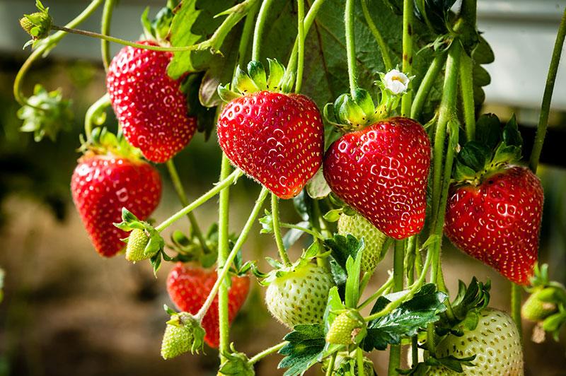 acheter des fraises huelva fraises aranjuez