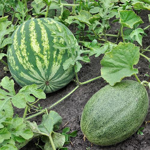 conseils choisir melon pastèque acheter